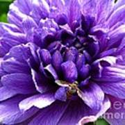Anemone Coronaria Named Lord Lieutenant Art Print