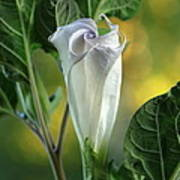 Angel's Trumpet Bud Art Print