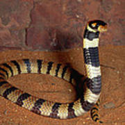 Angolan Coral Snake Defensive Display Art Print