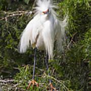 Angry Bird Snowy Egret In Breediing Plumage Art Print