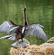 Anhinga On Turtle Art Print