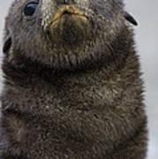 Antarctic Fur Seal Arctocephalus Art Print