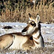 Antelope In Wintertime Art Print
