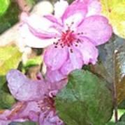 Apple Blossom II Ab2wc Art Print