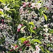 Apple Blossom (malus 'pom Zai') Art Print