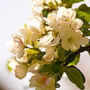Apple Blossoms 9 Art Print