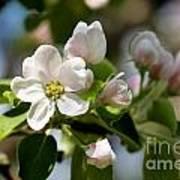 Apple Tree Flowers Art Print