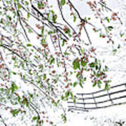 Apple Tree In Bloom With Spring Snow Art Print