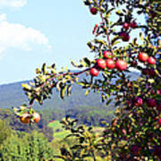 Apples On A Tree Art Print
