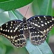 Archduke Butterfly Art Print