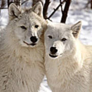 Arctic Wolves Close Together In Winter Art Print