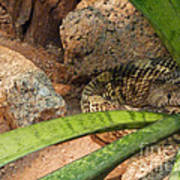 Arizona Rattler Art Print