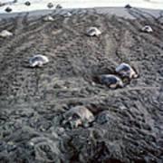 Arribada Of Olive Ridley Turtles, Costa Art Print