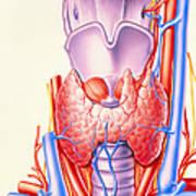 Artwork Showing The Thyroid Gland Art Print