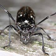 Asian Long-horned Beetle Art Print