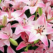 Asiatic Lily (lilium 'vermeer') Art Print