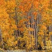 Aspen Forest In Fall - Wasatch Mountains - Utah Art Print