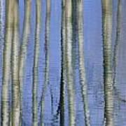 Aspen Poplar Trees Reflected In Spring Art Print