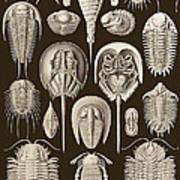 Aspidonia, Historical Artwork, 1899 Art Print