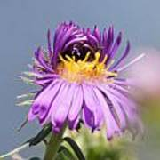 Asters Starting To Bloom Art Print