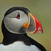 Atlantic Puffin Portrait Art Print