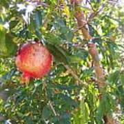 Aunt Tissy's Pomegranate Tree  Art Print