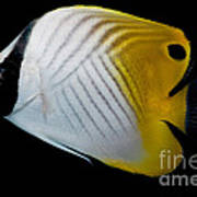 Auriga Butterfly Fish Art Print