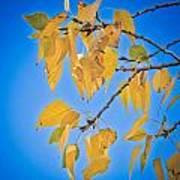 Autumn Aspen Leaves And Blue Sky Art Print