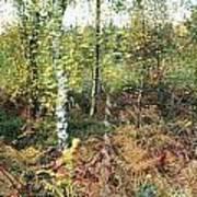 Autumn Birchh Forest Art Print