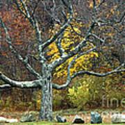 Autumn Grandfather Tree 2 Art Print