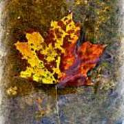 Autumn Maple Leaf In Water Art Print