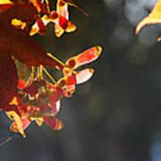 Autumn Maple Art Print