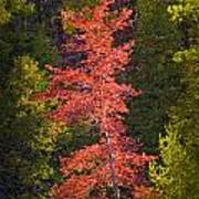 Autumn Scene Of Colorful Red Tree Along The Little Manistee River In Michigan No. 0902 Art Print