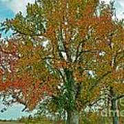 Autumn Sweetgum Tree Art Print