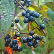 Autumn Viburnum Berries Series #2 Art Print