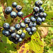 Autumn Viburnum Berries Series #3 Art Print