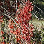 Autumns Red Vines Art Print