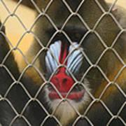 Baboon Behind Bars Art Print