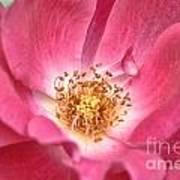 Babs Pink Art Print