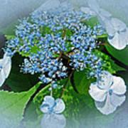 Baby Blue Lace Cap Hydrangea Art Print