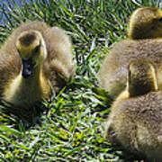 Baby Geese Art Print