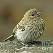 Baby House Finch Art Print