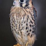 Baby Kestrel Falcon Art Print