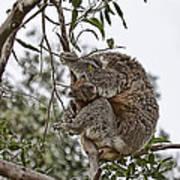 Baby Koala Art Print