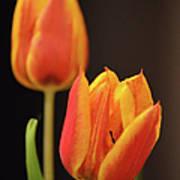 Baby Tulips Close Up Macro Art Print