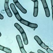 Bacillus Megaterium Art Print