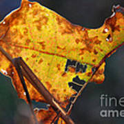 Back-lit Golden Leaf Art Print