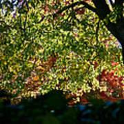 Backlit Autumn Art Print