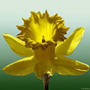 Backlit Daffodil Art Print