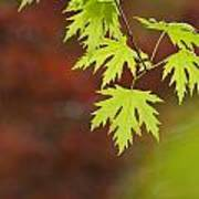 Backlit Maple Leaves On A Branch Art Print by Greg Dale